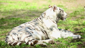 Tigress and her cub stock video