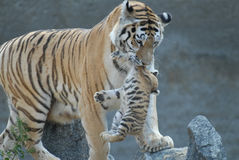 Tigress hides cub. The tigress hides cub in a safe place Stock Photo