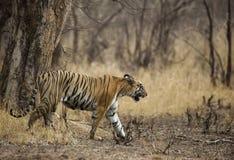 Tigress ina dry summer forest at Tadoba Tiger reserve Maharashtra,India. Asia stock images