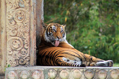 Tigress licking grooming herself. Tongue out while resting against wall at local zoo Royalty Free Stock Images