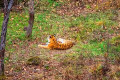 Tigress lying on the ground, resting. Russia. the Amur tiger. Royalty Free Stock Images
