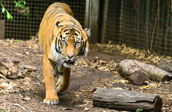 Tigress at Melbourne zoo Royalty Free Stock Photos