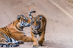 Tigress Noor with cub royalty free stock photos