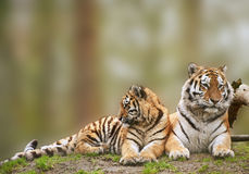 Tigress relaxing on grassy hill with cub Stock Image