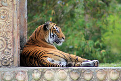 Tigress resting against wall face in profile. At local zoo with green background Stock Image