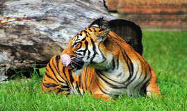 Tigress resting and licking her face. Tigress resting on green grass and licking her face at the local zoo in profile Royalty Free Stock Images
