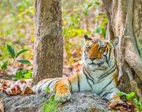 Tigress Royalty Free Stock Photo