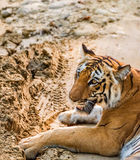 Tigress Royalty Free Stock Images