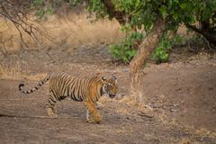 Tigress running after fighting with a male tiger royalty free stock photo