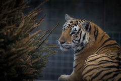 Tigress in the sanctuary 3 Royalty Free Stock Images