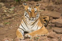 Tigress Sitting resting on rocky ground. Tigress Portrait Tigress Sitting resting on rocky ground in jugnle of central India royalty free stock photography