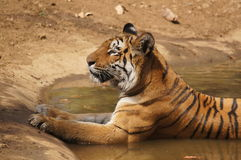 Tigress sitting in water cooling off Stock Images