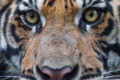 Tigress stock image
