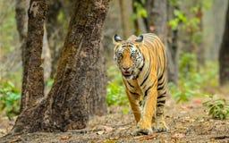 Tigress and tree Stock Image