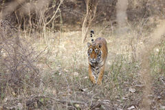 Tigress walking through the jungle. Royalty Free Stock Photos