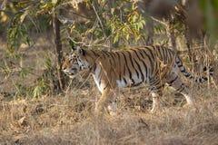 Tigress walking in a tall grass at Pench national Park,Madhya Pradesh. India royalty free stock image