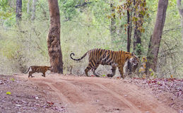 Tigress with a young cub Royalty Free Stock Image