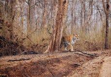 Tigresse de Collarwali avec l'petit animal Image stock