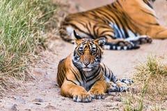 Tigresse Noor avec l'petit animal images libres de droits
