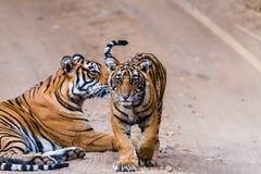 Tigresse Noor avec l'petit animal photos libres de droits