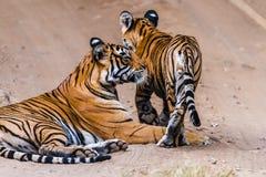 Tigresse Noor avec l'petit animal image stock