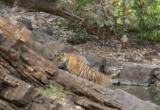 Tigresse Noor dans le point d'eau, parc national de Ranthambhore, Ràjasthàn, Inde photo stock