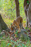 Tigresse sauvage Image stock