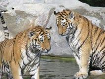 Tigri Immagine Stock Libera da Diritti