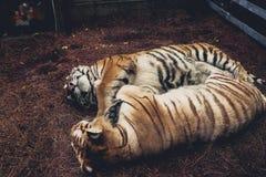 tigri Fotografie Stock Libere da Diritti