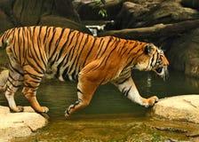 Tigri Immagini Stock