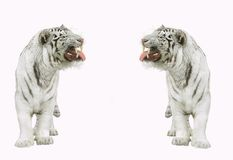 Tigri. Immagini Stock