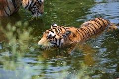 Tigri in acqua Immagine Stock