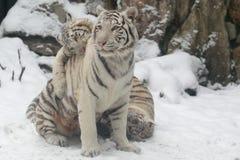 Tigri bianche Fotografia Stock