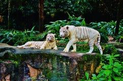 Tigri bianche Immagine Stock