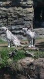 Tigri bianche come la neve Fotografia Stock