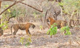 Tigri che combattono dopo l'accoppiamento Fotografia Stock Libera da Diritti