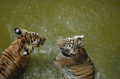 Tigri che palying sull'acqua Immagini Stock Libere da Diritti