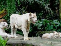 Tigri di Bengala bianche Immagini Stock Libere da Diritti