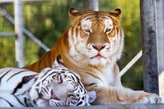 Tigri di Bengala nere arancioni bianche reali dei compagni Fotografie Stock Libere da Diritti