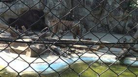 tigri di 4K due Bengala che wallking dietro una maglia metallica vicino dello stagno nello zoo archivi video