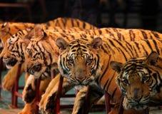 tigri di vista Immagini Stock