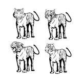 Tigri impostate Fotografia Stock