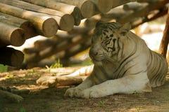 Tigri nel parco della fauna selvatica di Pechino fotografie stock libere da diritti