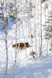 Tigri siberiane in neve Fotografie Stock