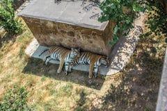 Tigri sulla vacanza fotografia stock libera da diritti