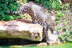 Tigri in uno zoo Fotografia Stock Libera da Diritti