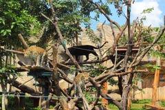 Tigri in zoo e natura Fotografia Stock Libera da Diritti