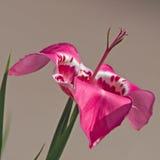 Tigridia (iris) fotografering för bildbyråer