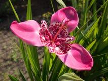 Tigridia pavonia flower Royalty Free Stock Photo