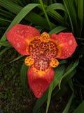 Tigridia Pavonia stock foto's
